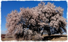 Primavera adelantada en los campos mallorquines