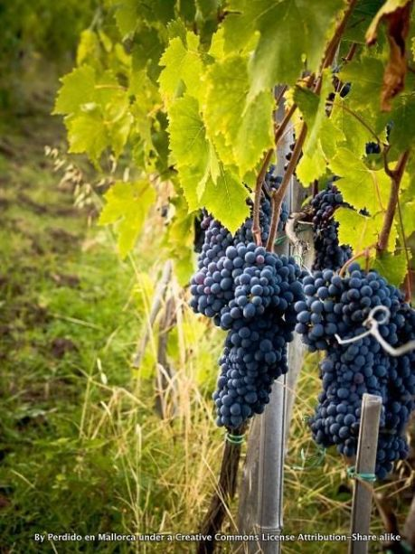 GRAPES IN THE VINEYARD-001
