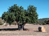 Algarrobo o garrover y pacas de paja tras la recogida del trigo, estampa típica del Plá mallorquín.