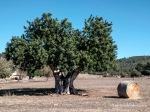 Campos de trigo recién segados y hermoso ejemplar de garrover o algarrobo en Es Calderers.