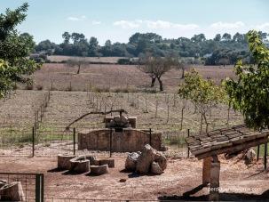 """Campos de labor en Es Calderers, en primer término se ve una noria de las llamadas """"de sang"""" en las que una mula con anteojeras daba vueltas para mover los canjilones que extraían el agua del pozo."""