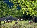 El ganado lanar es, junto al porc negre, la base de la producción ganadera de muchas possessions.