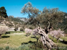 Campos de ametllers y oliveras, Sollerich.