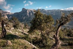 Campos de olivos en la Serra de Tramuntana en las proximidades de Fornalutx.