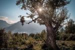 Olivera (olivo) en la Serra de Tramuntana, cerca de Fornalutx, al fondo de la imagen se aprecia de forma parcial el pueblo de Sóller.